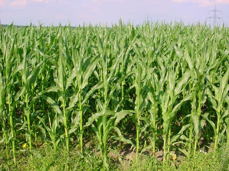 how to draw maize plant